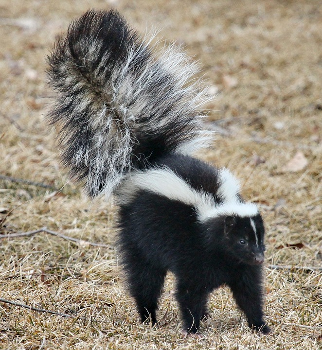 Skunk Walking in Yard, Skunk Control in New Hampshire