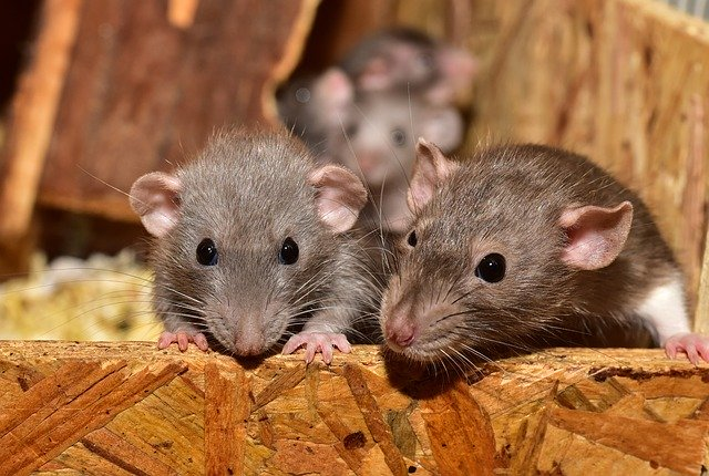 Pair of Brown Rats on OSB, Rodent Control in New Hampshire Home